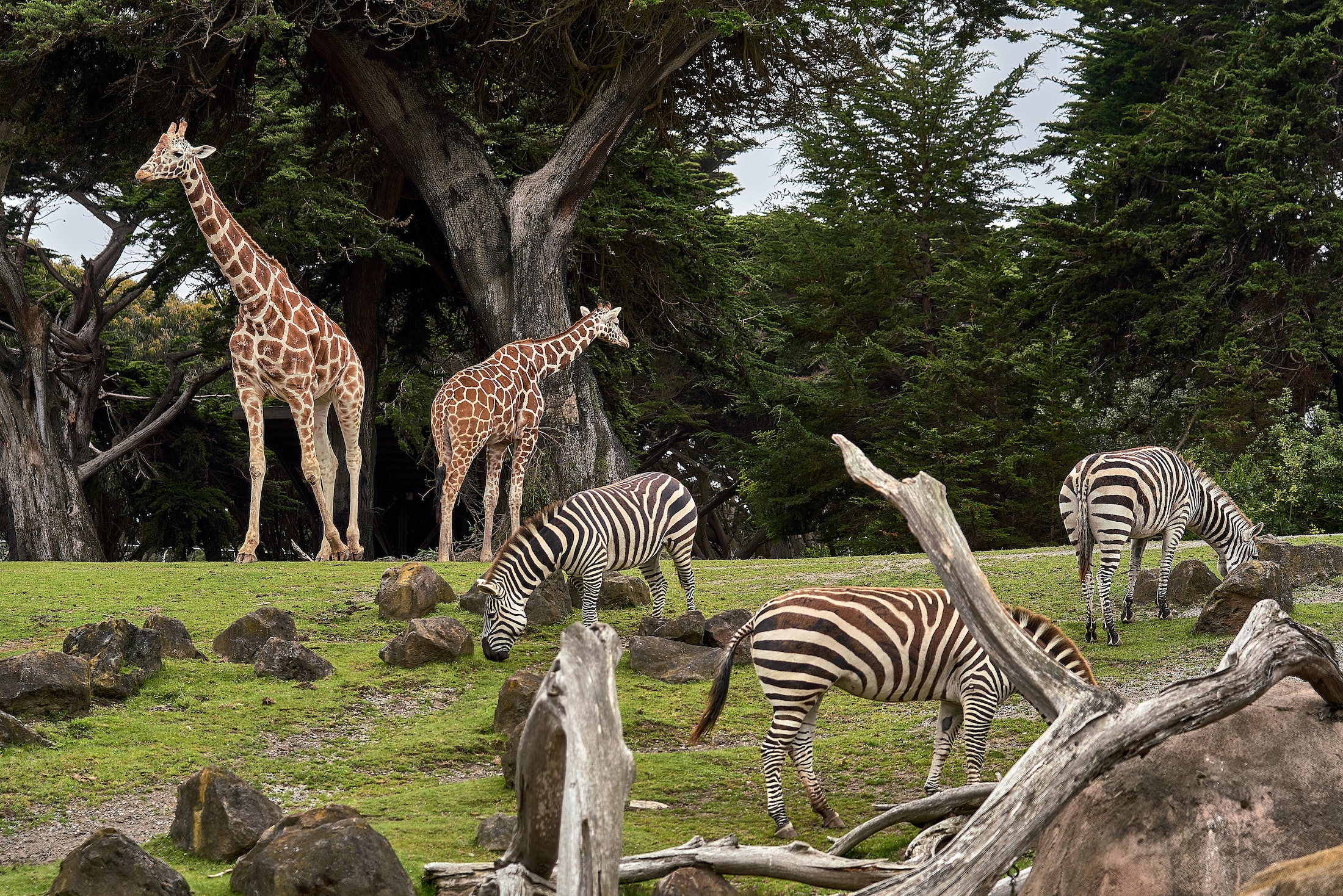 membership marketing image of zebras and giraffes grazing at the zoo